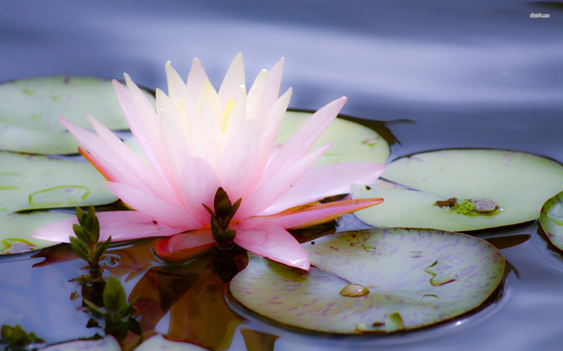 Water lilies Wallpapers HD Desktop Backgrounds Images and