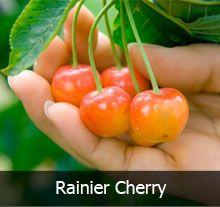 4 In 1 Cherry Tree Rainier Cherries Fruit Trees Cherry Tree Varieties