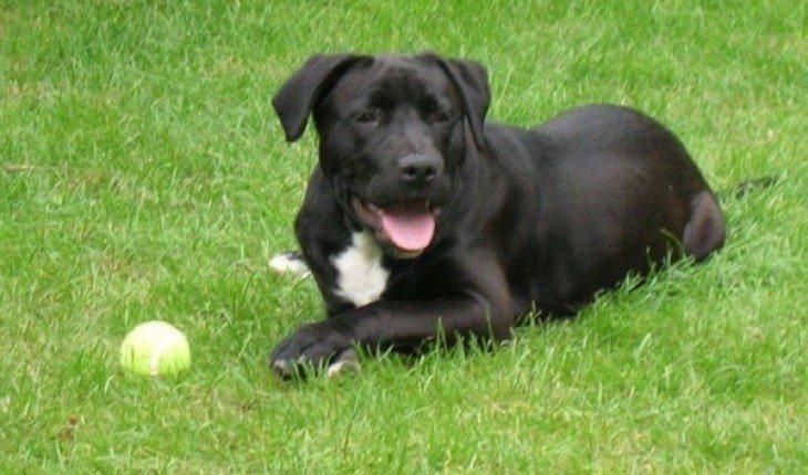 Staffador Staffordshire Bull Terrier X Labrador Retriever Labrador Staffordshire Bull Terrier Bull Terrier