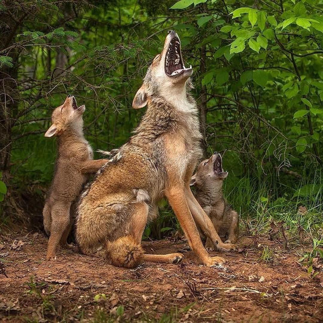 Pin de Debby Markus en wolves | Pinterest | Anfibios, Salvajes y ...