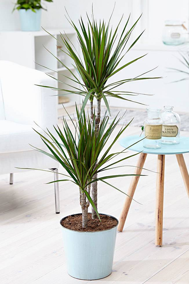 Dracaena Marginata For All Home Gifting And Office Plant