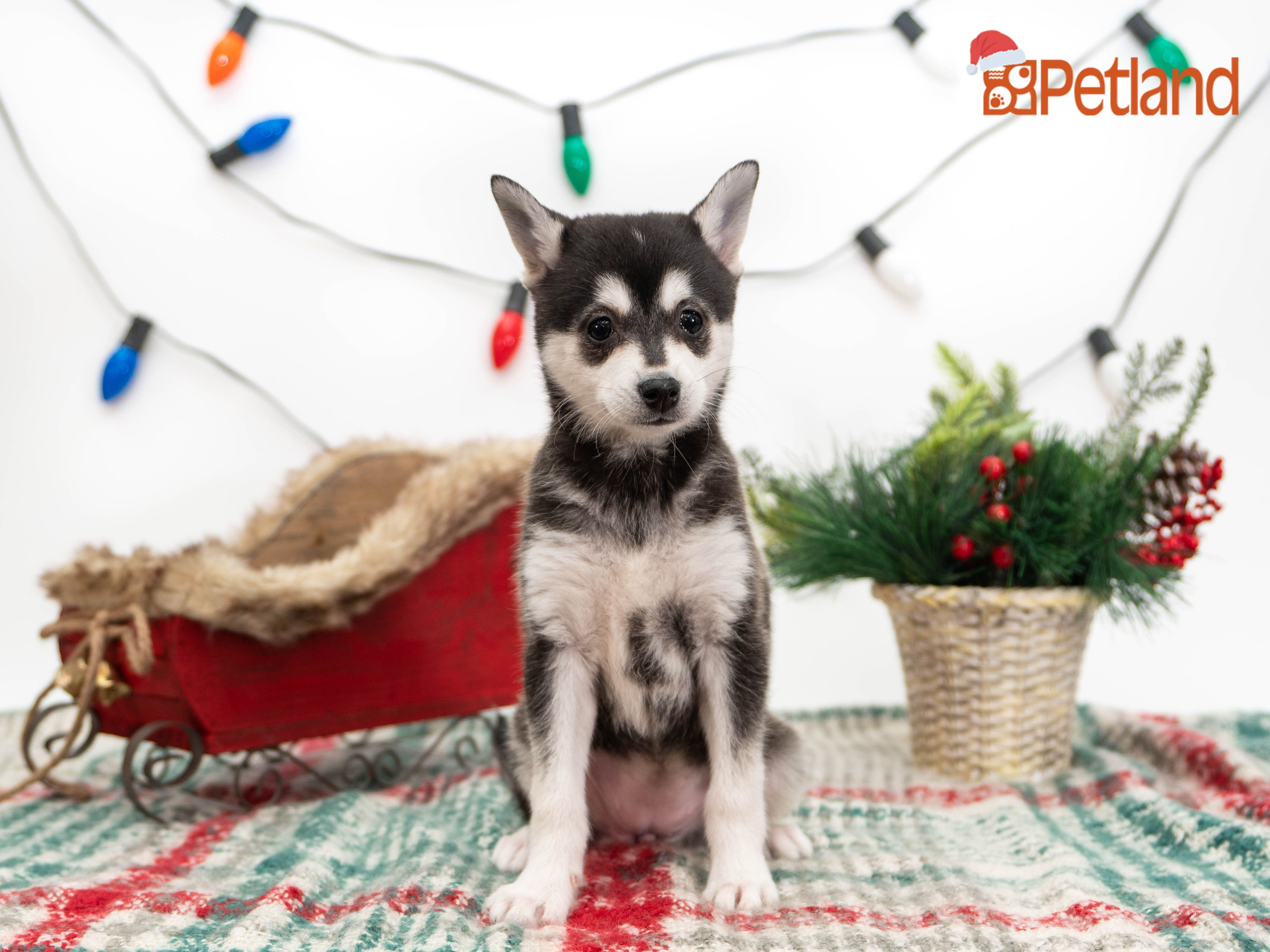 Puppies For Sale (With images) Puppy friends, Puppies, Dogs