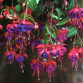 Fuchsia Blue Eyes Tried And True Fuchsia Flowers Fuchsia Garden Fuchsia Plant