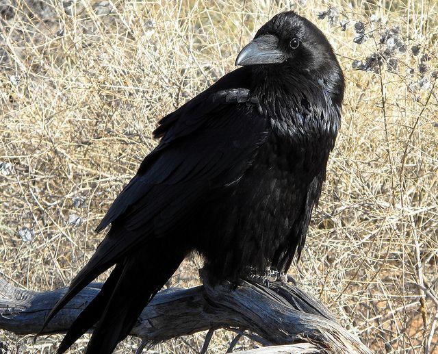 Raven - evaluating   Flickr - Photo Sharing!