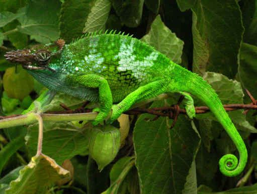 Bradypodion Fischeri Fischer S Chameleon Or Two Horned Chameleon