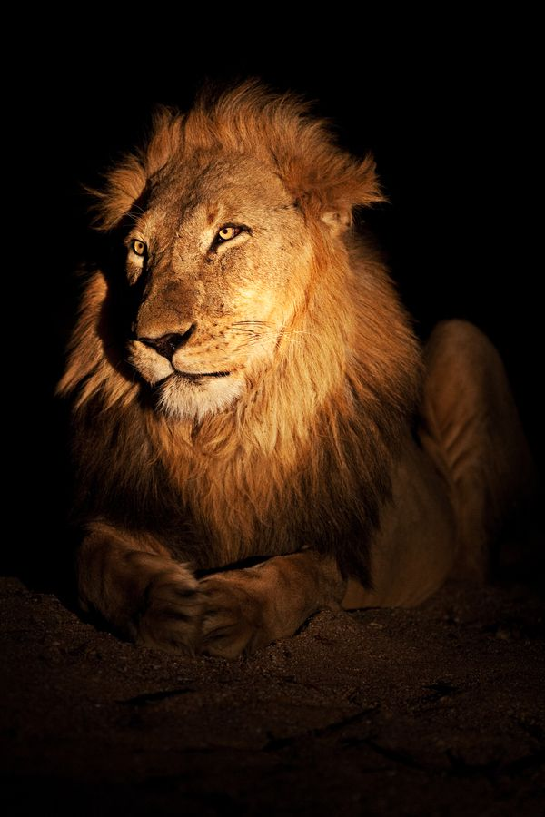 The King of Timbavati by Xenedis on 500px