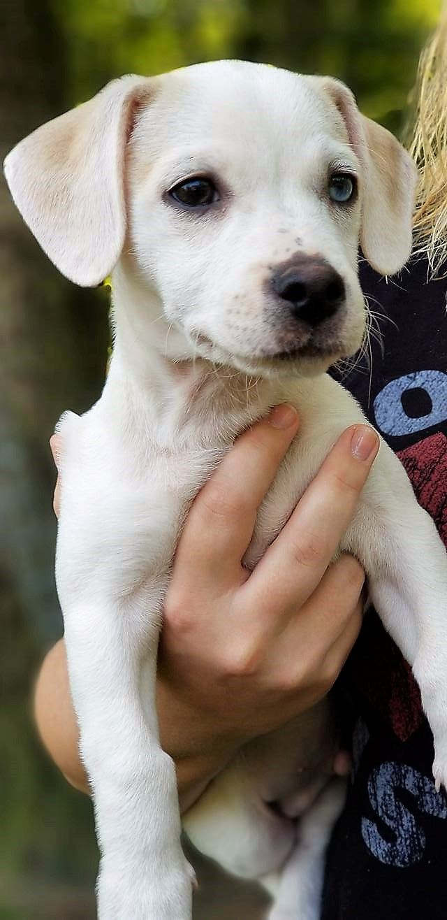 Labbe dog for Adoption in Binghamton, NY  ADN-655824 on PuppyFinder
