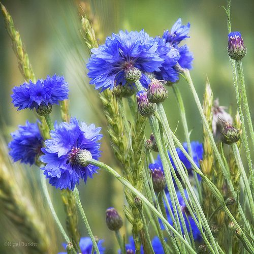 Cornflowers | by Nigel Burkitt
