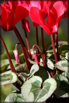 Cyclamen Plant Care Tips For Taking Care Of A Cyclamen