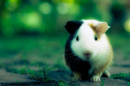 Gini The Guinea Pig Photo by WeiQi Ng -- National Geographic Your Shot