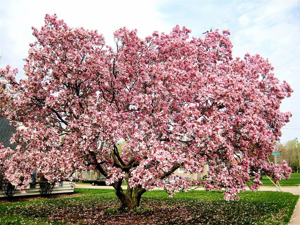 My Favorite Magnolia Tree Saucer Magnolia Tree Magnolia Tree Landscaping Japanese Magnolia Tree