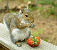 Healthy diet for pet squirrels   Baby Squirrel Diet