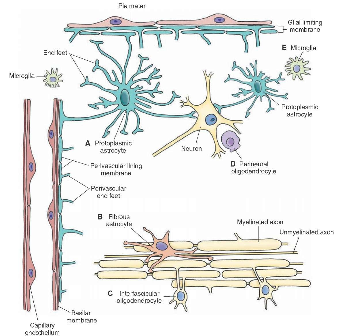 role of astrocytes in the central nervous system biology essay Neurons and glial cells  recall the differences in structure and function between the central and peripheral nervous systems  the central nervous system .