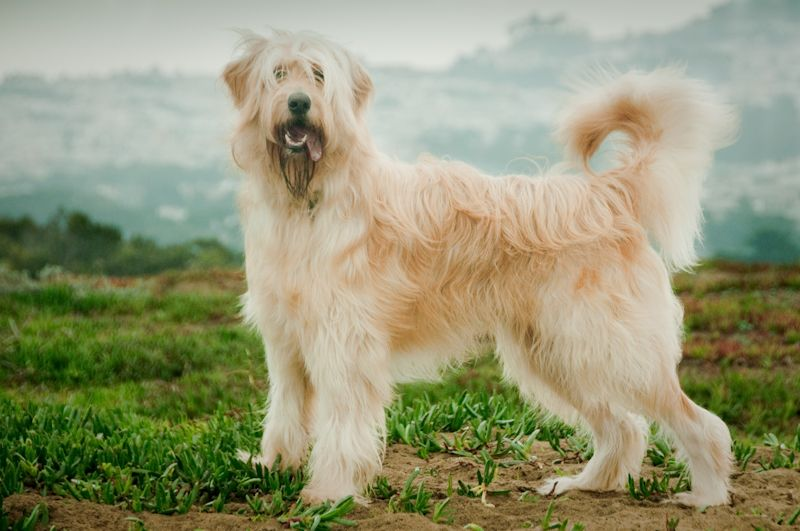 Mustard Seed Ranch Goldendoodles - All Grown Up