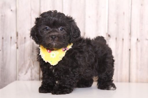 Shih Poo Puppy For Sale In Mount Vernon Oh Adn 47254 On