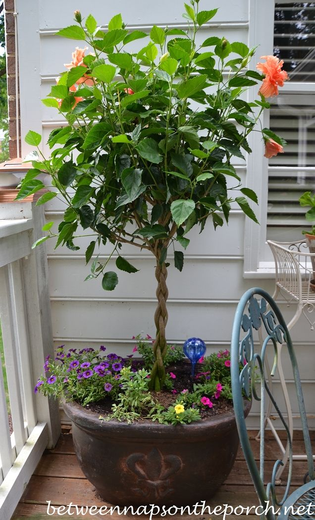 Tree Form Tardiva Hydrangea Adds Privacy And Screening To The Deck
