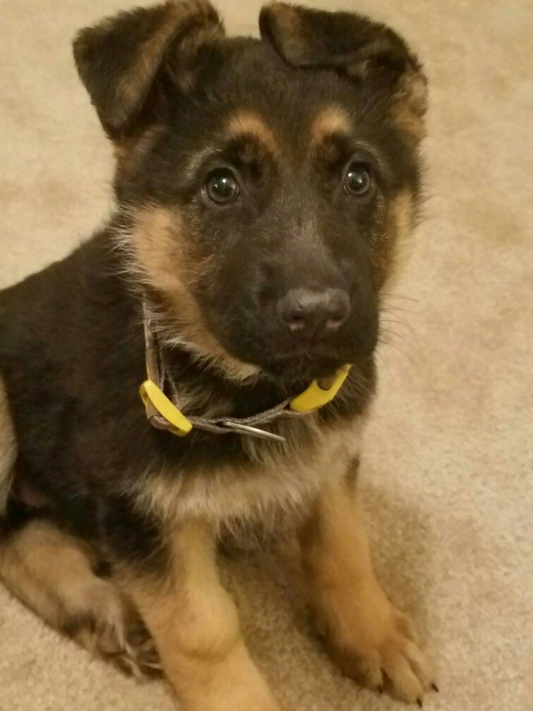 Beautiful German Shephard Puppy With Crazy Ears Gsd Puppies