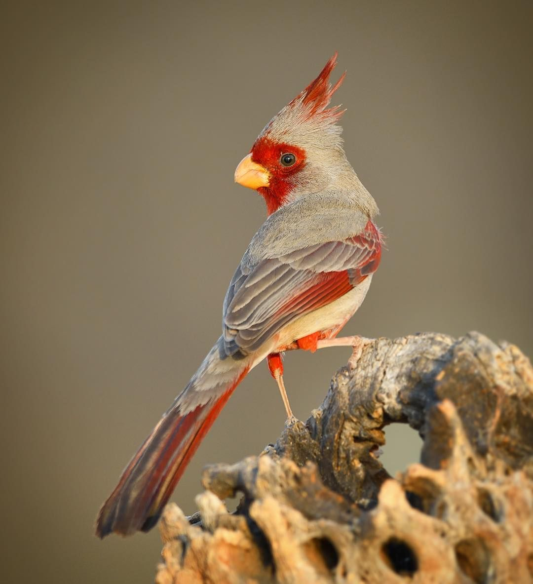 Male Pyrrhuloxia Perches On An Old Cholla Cactus Skeleton In Southern Arizona They Are Found In The Southern Portions Of T Bird Arizona Birds Beautiful Birds