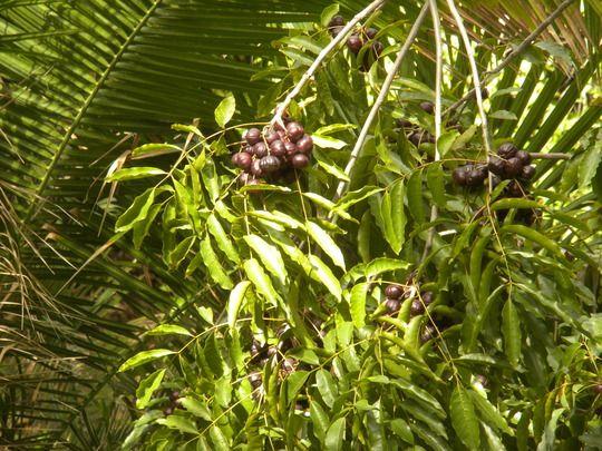 Pleiogynium Timorense Burdekin Plum Is Native From The Philippines To Northeastern Queensland Australia It Is A Beautifu Garden Pictures Garden Plants Tree