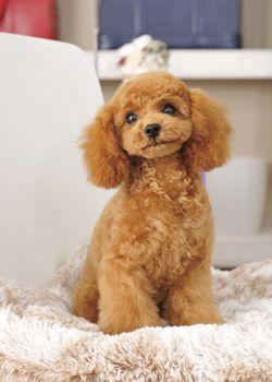 スマイルベイビー 愛犬の友 ヘアスタイルカタログ トイプードル