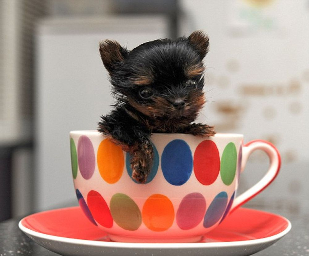 Le plus petit chien du monde mesure 5cm et il est trop mignon