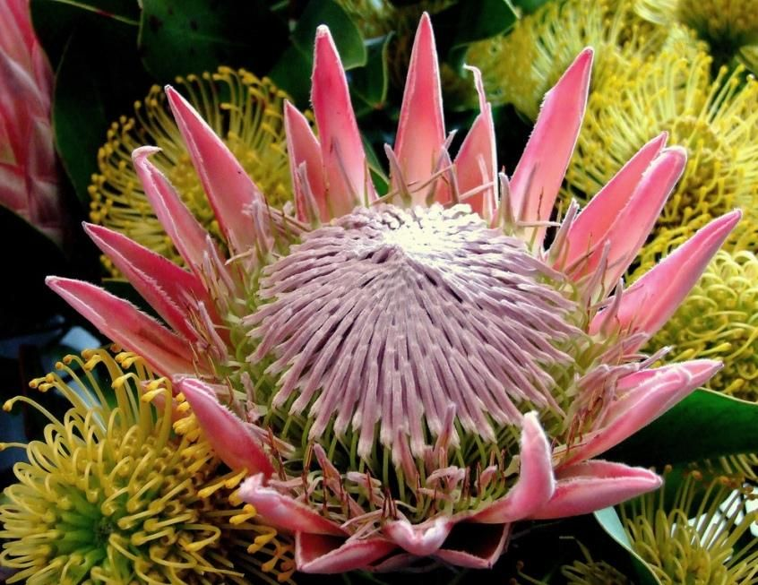 National Flowers South Africa King Protea Protea Cynaroides South African Flowers Protea Flower Flowers