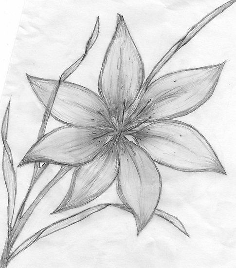 Line drawing of a flower maebelle portfolio lilypencil drawing