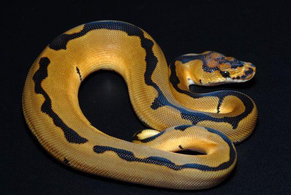 Clown Reduced Pattern Line Python Snake Ball Python Morphs Ball Python