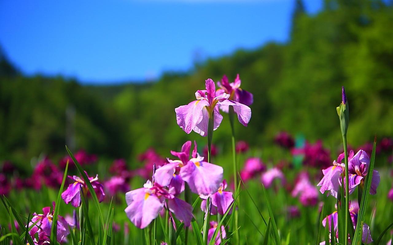Iris plant beautiful iris flower flowers pinterest iris in the garden iris flower wallpaper hd picture photo free izmirmasajfo