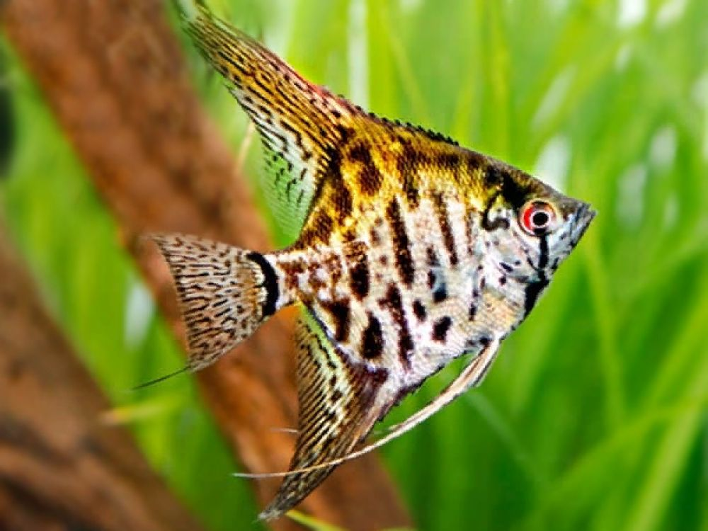 Leopard Angelfish Price 3 Gbp Worldwide Shipping Https Diapteron Co Uk Product Leopard Angelfish Angel Angel Fish Angel Fish Tank Tropical Fish Tanks