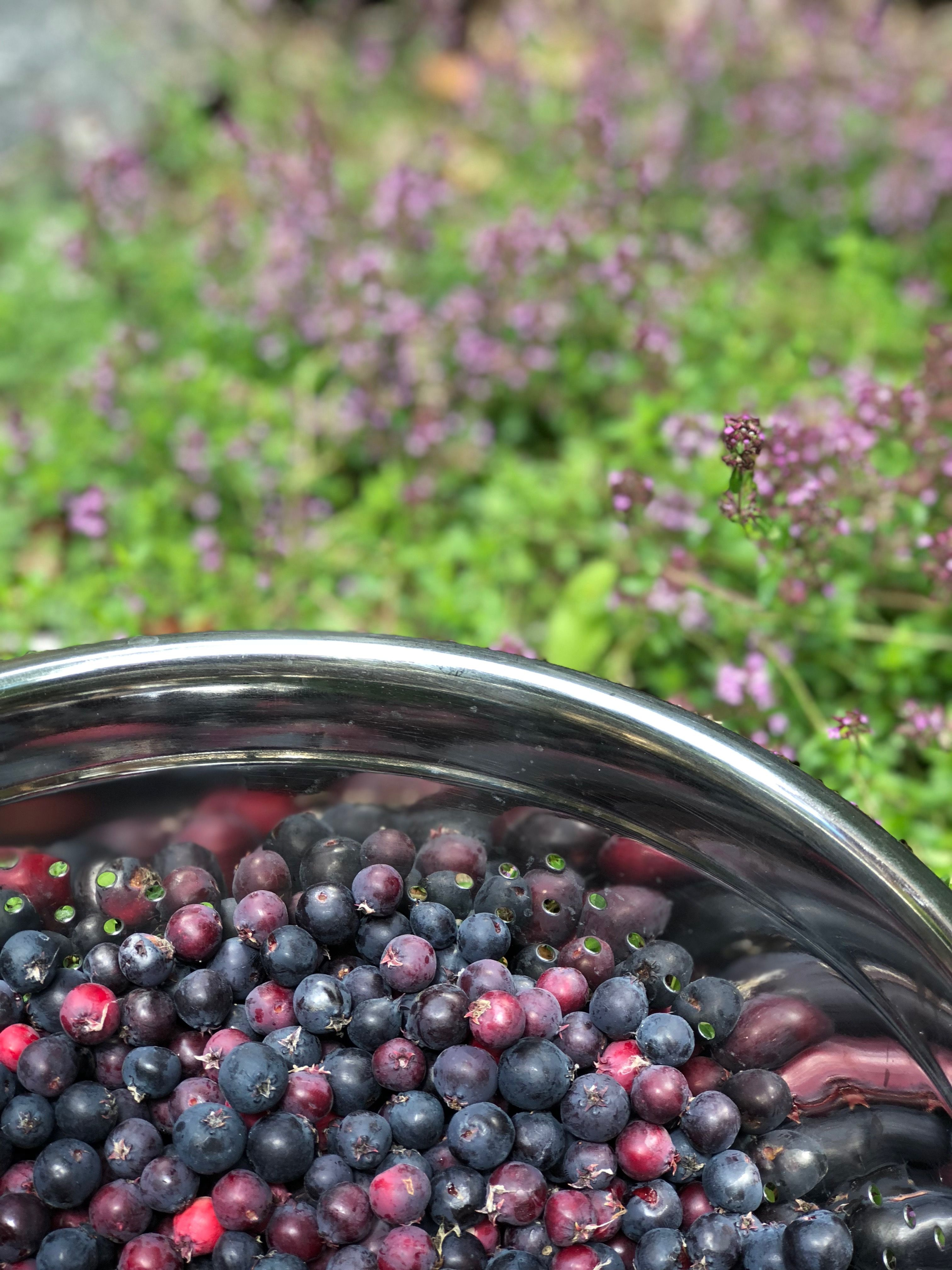 Picked these Saskatoon berries in the yard this weekend and