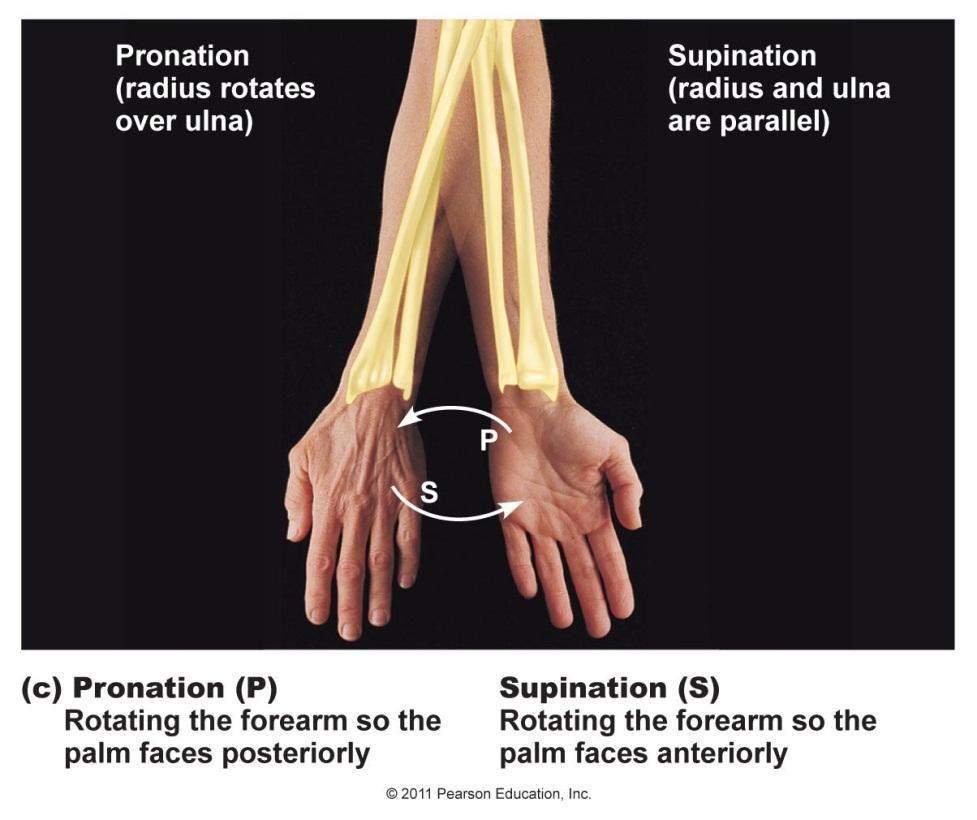 Radius Rotates Over Ulna With Pronation Anatomy Pinterest