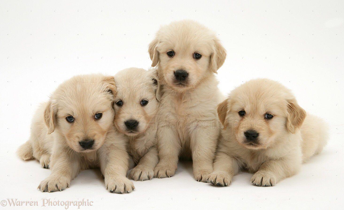Puppies 3 Four Golden Retriever Puppies In Row White Background