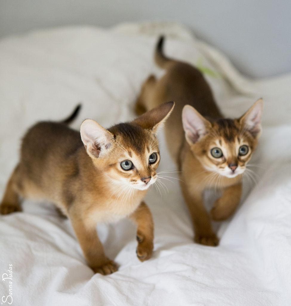 20170417_8974c | Abyssinian, Cat and Animal