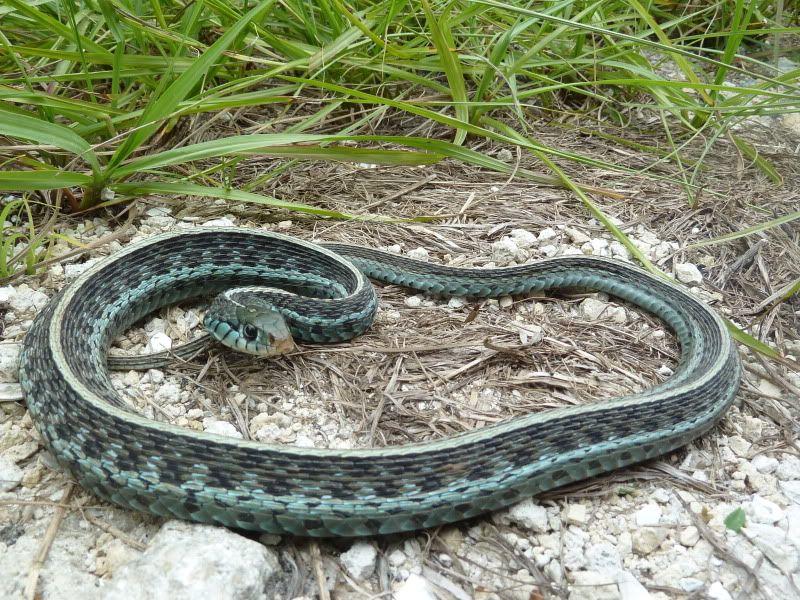 Blue Garter Snake