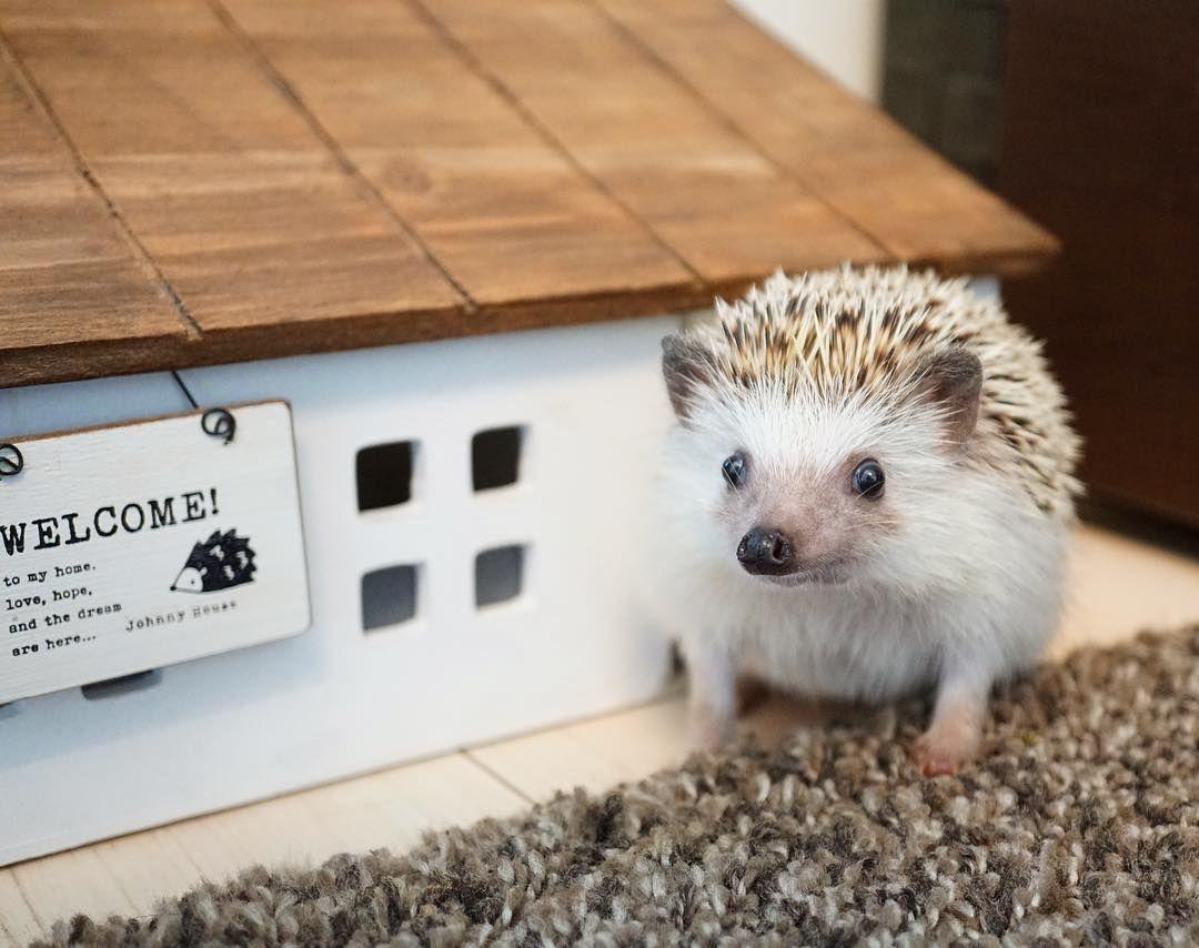 へやんぽ小屋です リビングにへやんぽ用に 隠れ場所を何箇所か用意してあります Hedgie Hedgehog ハリネズミ はりねずみ Pet Animal 刺猬 ふわもこ部 エキゾチックアニマル Erizo Riccio Igel Ezh Herisson Connhim Sundi