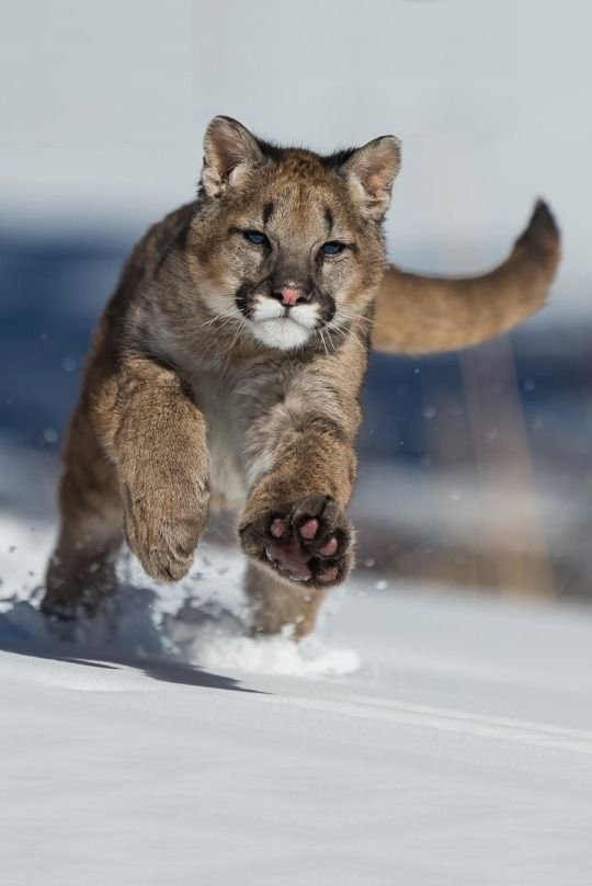 Young mountain lion playing in the snow - © Christophe JOBIC | ᶹᶥᶳᶸᵃᶩᶳ
