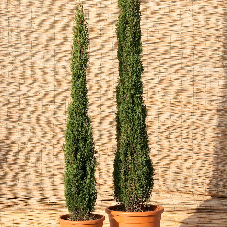 Cupressus sempervirens Totem - Italian Cypress - Dobbies Garden ...