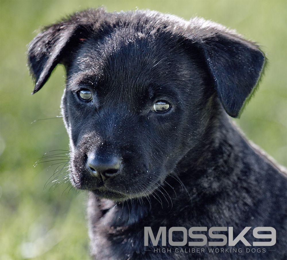 Dutch Shepherd Puppy For Sale Moss K9 Cute Baby Animal Puppy Malinois Puppies For Sale Dutch Shepherd Puppy Puppies For Sale