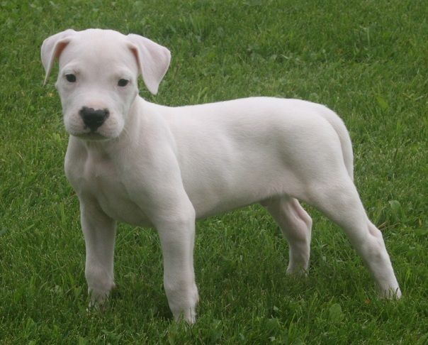 Finding A Dogo Argentino Puppy Dogo Argentino Dogo Argentino Breeders Puppies Baby Dogs