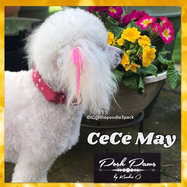 This is CeCe. Shes the eldest of @thepoodle3pack at 7yo. She doesnt have a ring on it fellas so lets see if you can sweep her off her paws this #pawlentinesday  Model: CeCe @thepoodle3pack is wearing a custom 4.5 @houseof_poshpaws feather extension  #grateful #igfamily #kindness #support #caninecouture #houseof_poshpaws #holidaystyle #funwithfeathers #featherextensions #dapperdogs #dogsinbowties #flowerpower #poshpoodle #caninecustomcouture #luxe #luxurypet #petaccessories #dapperdog #weddingdogs #weddingaccessoriess #glam #hairclip #wagswag #dogbows #dogbling #thepoodle3pack #cecemaypoodle  This is CeCe. Shes the eldest of @thepoodle3pack at 7yo. She doesnt have a ring on it fellas so lets see if you can sweep her off her paws this #pawlentinesday  Model: CeCe @thepoodle3pack is wearing a custom 4.5 @houseof_poshpaws feather extension  #grateful #igfamily #kindness #support #caninecouture #houseof_poshpaws #holidaystyle #funwithfeathers #featherextensions #dapperdogs #dogsinbowties #flowerpower #poshpoodle #caninecustomcouture #luxe #luxurypet #petaccessories #dapperdog #weddingdogs #weddingaccessoriess #glam #hairclip #wagswag #dogbows #dogbling #thepoodle3pack #cecemaypoodle pet-accessories dogs animals pets