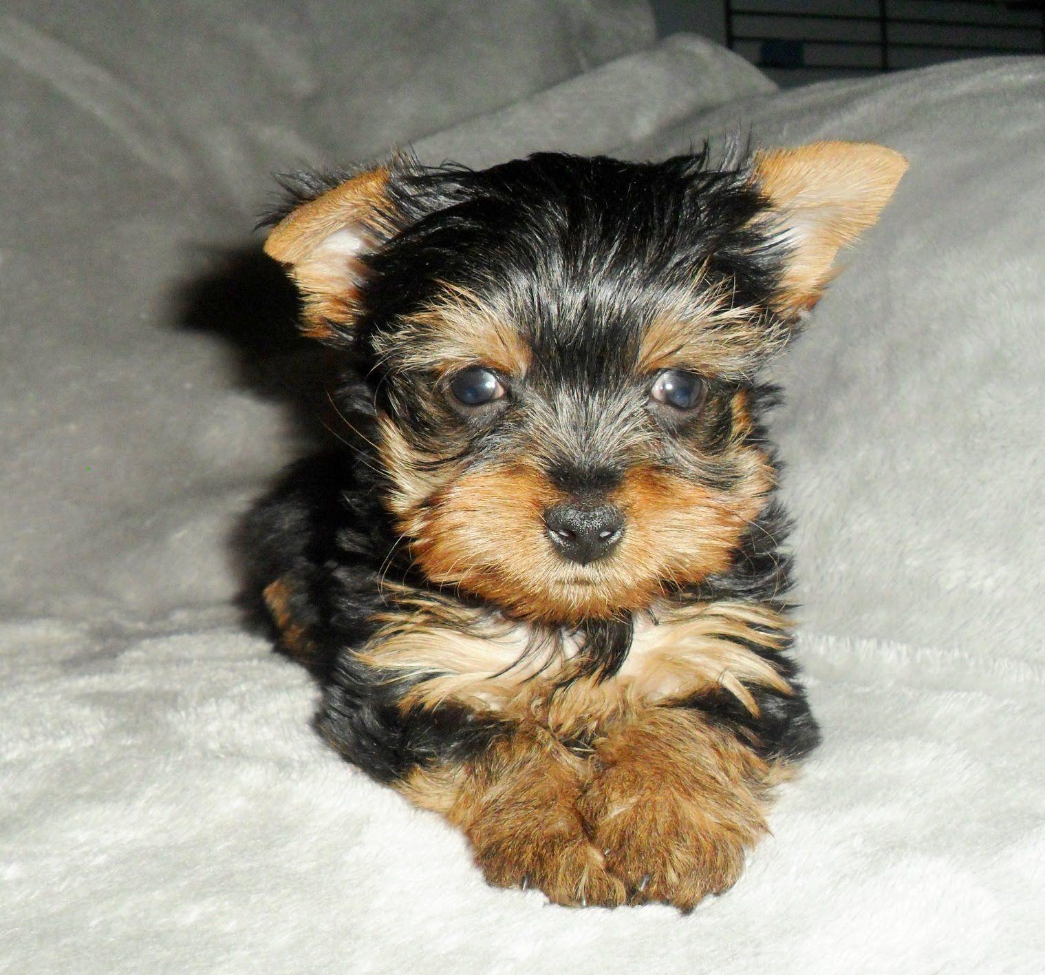 Sam 9590 Yorkie Puppy Yorkie Yorkies For Sale
