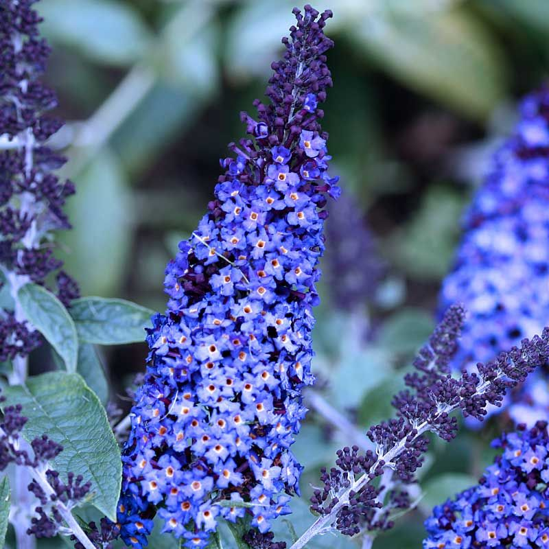 Buddleia Pugster Blue Grows 2 X 2 Fragrant Plant Butterfly