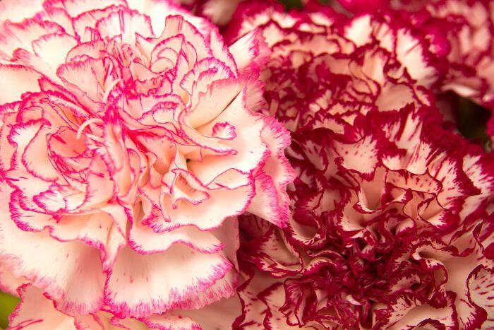 Facebook Twitter Google Pinterest Email Facebook Twitter Google Pinterest Email Carnation Flower Meaning Carnation Flower Flower Meanings