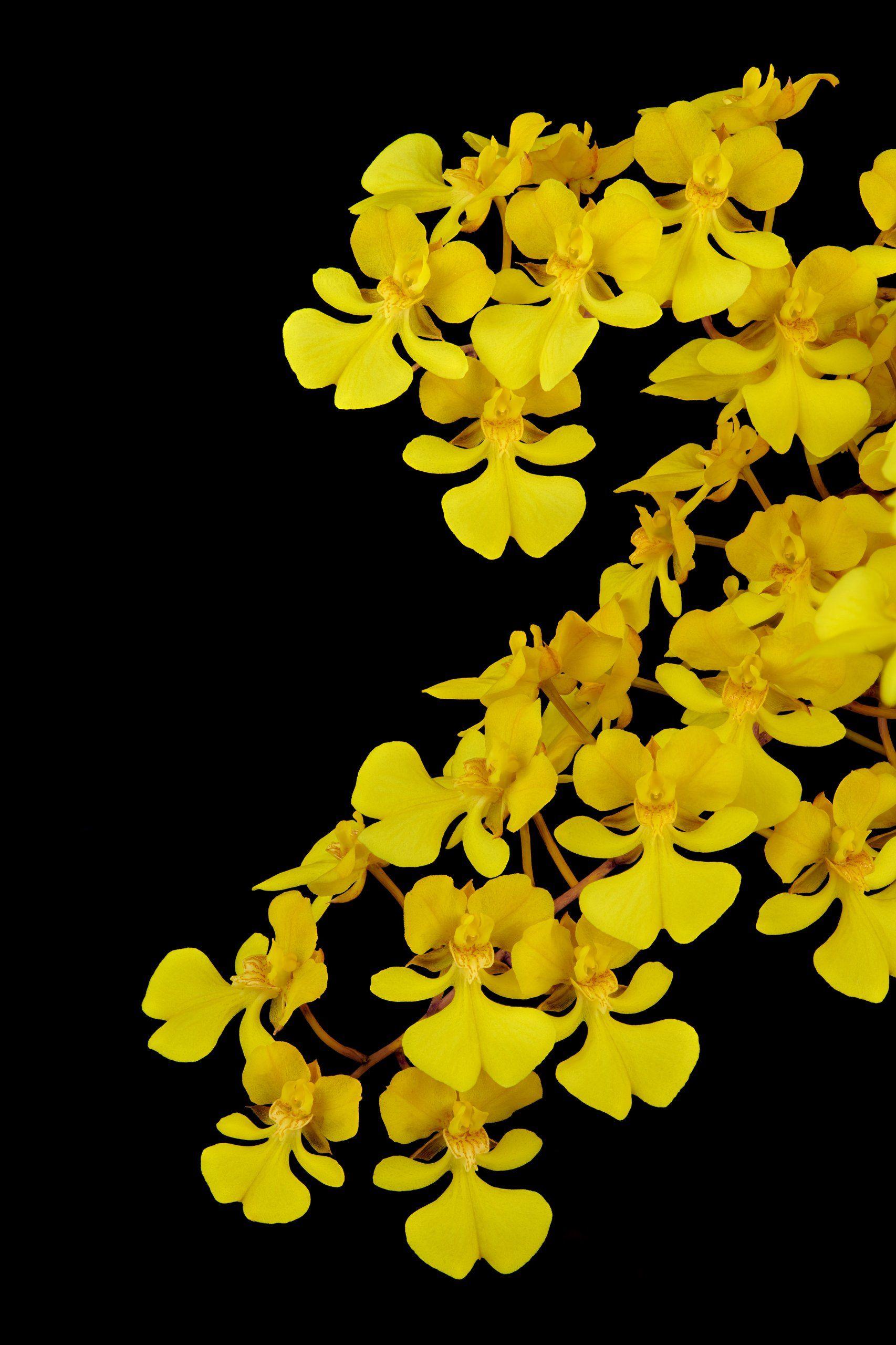 Oncidium Onustum Oncidium Wild Orchid Orchids