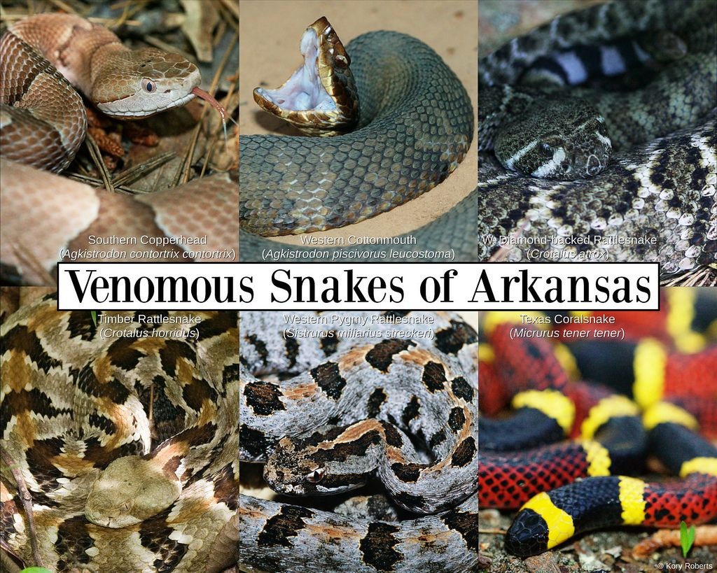 Arkansas is home to 36 species of snakes  6 venomous snakes