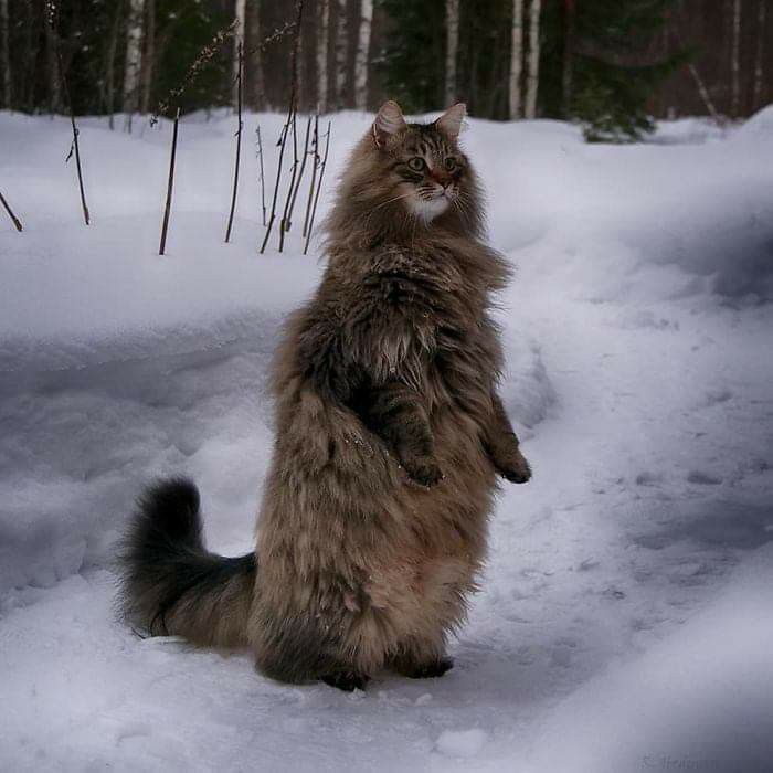 Pin By Deborah Jones On Animality In 2020 Norwegian Forest Cat Forest Cat Norwegian Forest