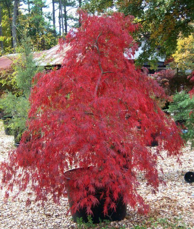 Kieselsteine Garten: Japanischer-ahorn-garten-tamukeyama-herbst-kieselsteine