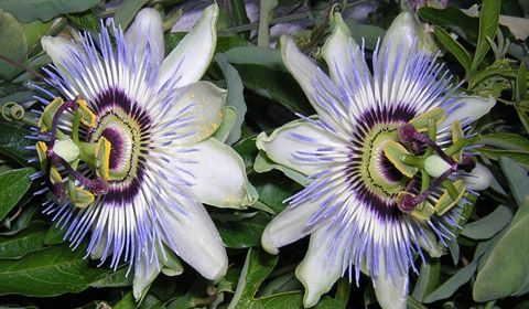 Passiflora Spp Passion Flower Entheology Com Passion Flower Passiflora Plants
