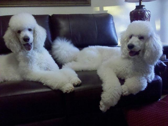 2 Amazing Standard White Poodles I Would Love To Have These Two